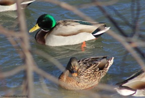 mallard-ducks-008