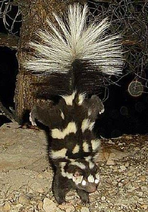 standing skunk